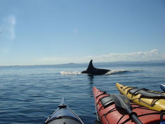 Orca Swim By