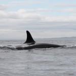 Dorsal Fin of Orca