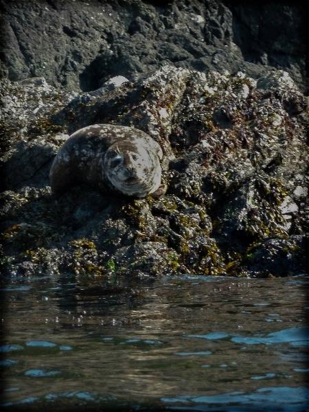 harbor-seal-on-rocks