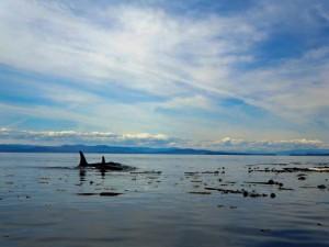 killer-whales-002