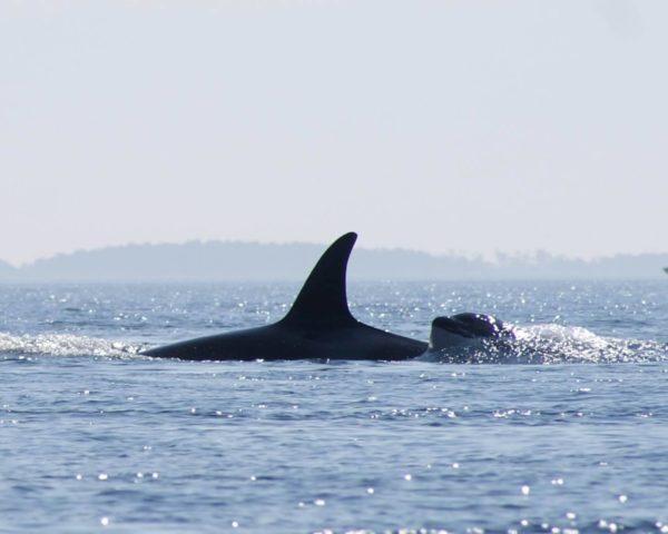 kayak whale watching san juan island