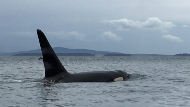Orca whale San Juan Island