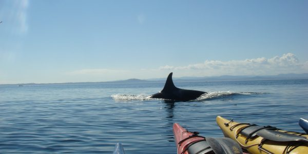 Lone orca surfaces near kayak tour