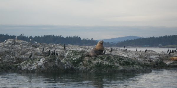 Large Sea Lion San Juan Island