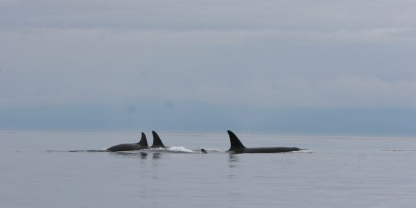 Group of killer whales San Juan Island