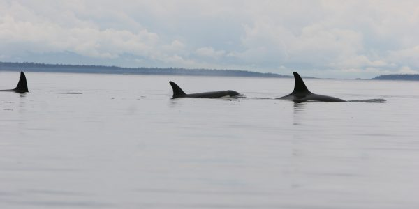 3 killer whales surface